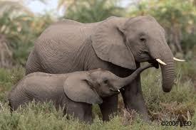 Interesting elephants facts